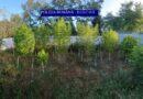 Kannabiszültetvényeket találtak a megyében