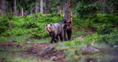 Tizenegymillió  euró értékű európai uniós finanszírozású projektben Romániában felmérik a barnamedve-állományt